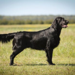 Alko Ant Bangos- TOP Flat Coated Retriever of Lithuania!!!